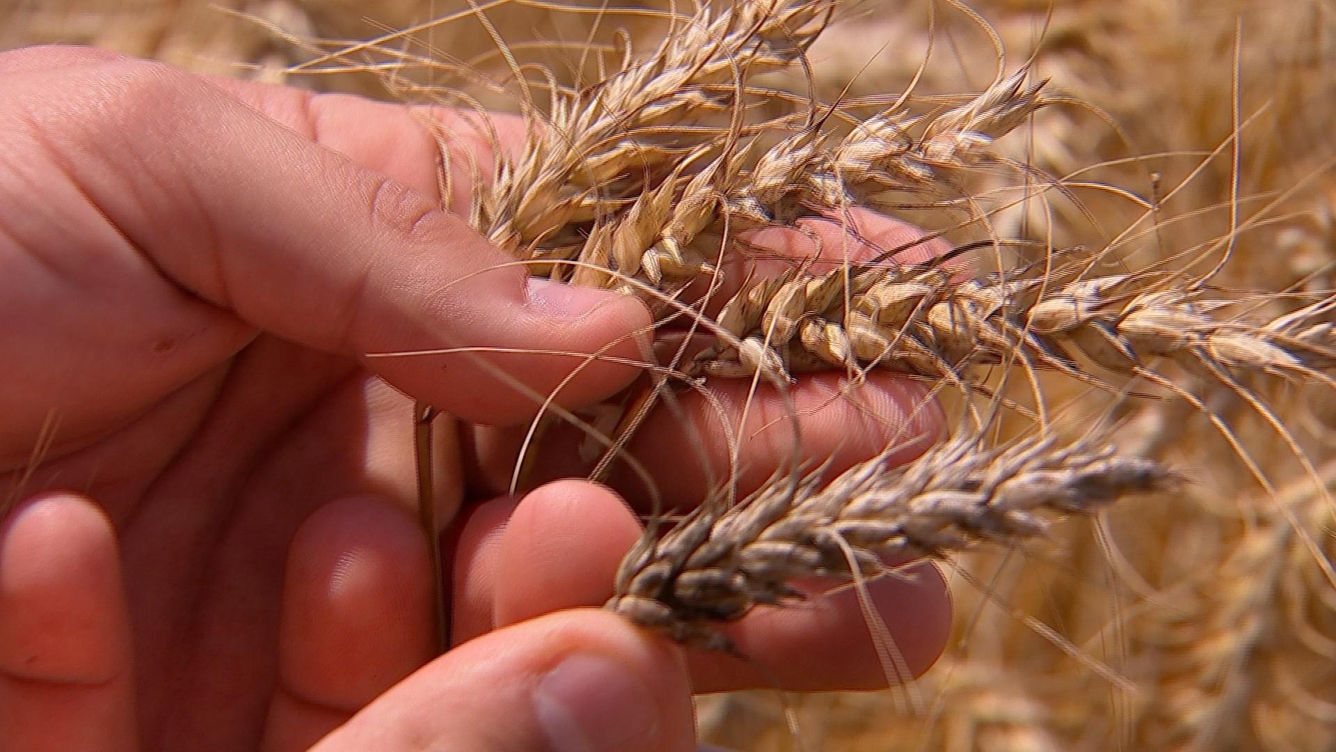 Produtores colhem safra de trigo em São Paulo - Notícias - Plantão Diário