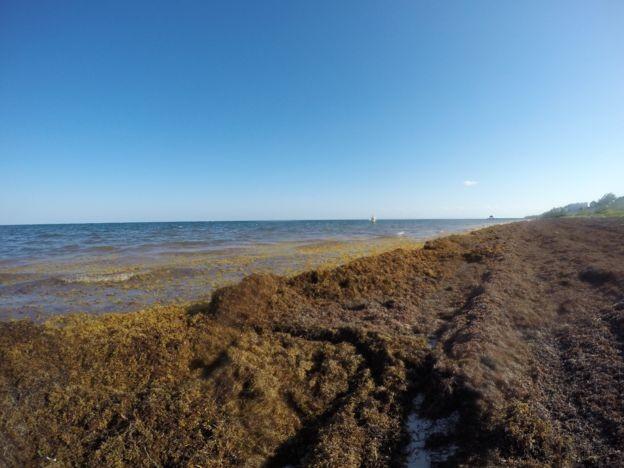 Quando o sargaço morto se acumula na praia entra em decomposição e gera um mau cheiro que tamém tem afastado os turistas (Foto: Marta García via BBC)
