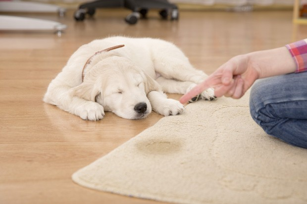 Golden retriever puppy looking guilty from his punishment (Foto: Getty Images/iStockphoto)