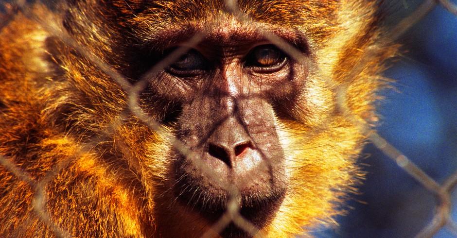 macaco (Foto: Joel Duggan/ Flickr)