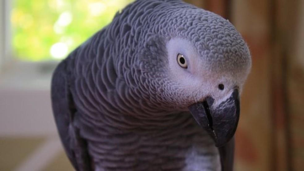 Um papagaio-cinzento como Bud, que teria testemunhado crime (Foto: BBC)