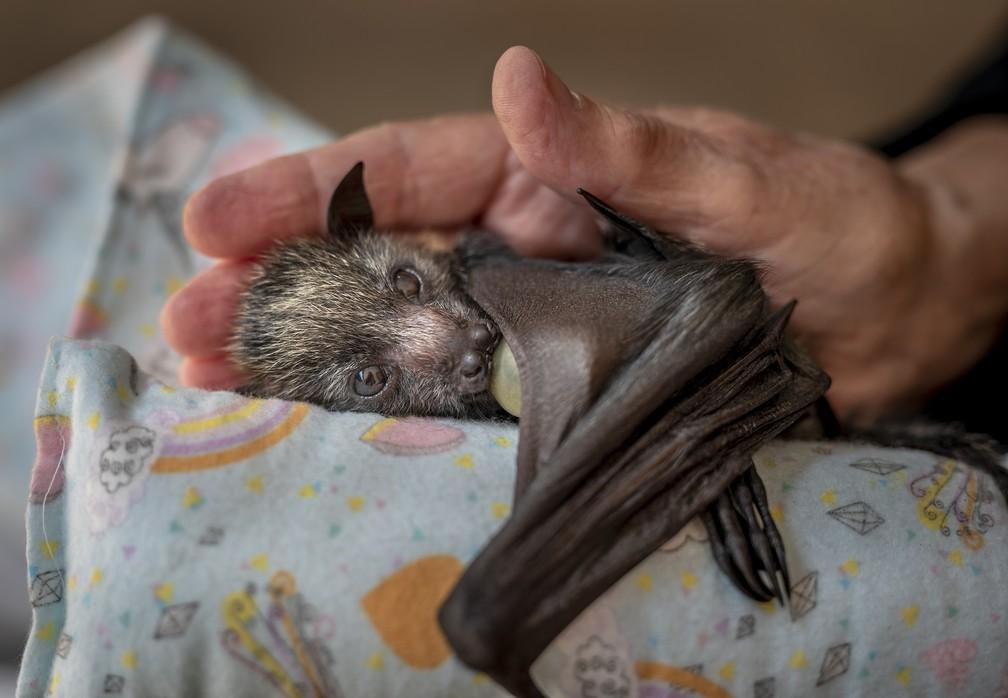 'Uma mão carinhosa', por Douglas Gimesy, Austrália. Filhote de raposa-voadora, um tipo de morcego,tinha três semanas quando foi encontrada sozinha no chão e levada para um abrigo, em Melbourne, Austrália — Foto: Douglas Gimesy/Wildlife Photographer of the Year
