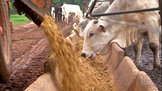 Cresce procura por subproduto do milho na alimentação do gado em Mato Grosso