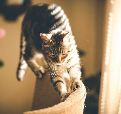 Afinal, por que gatos gostam de amassar superfícies com as patas?