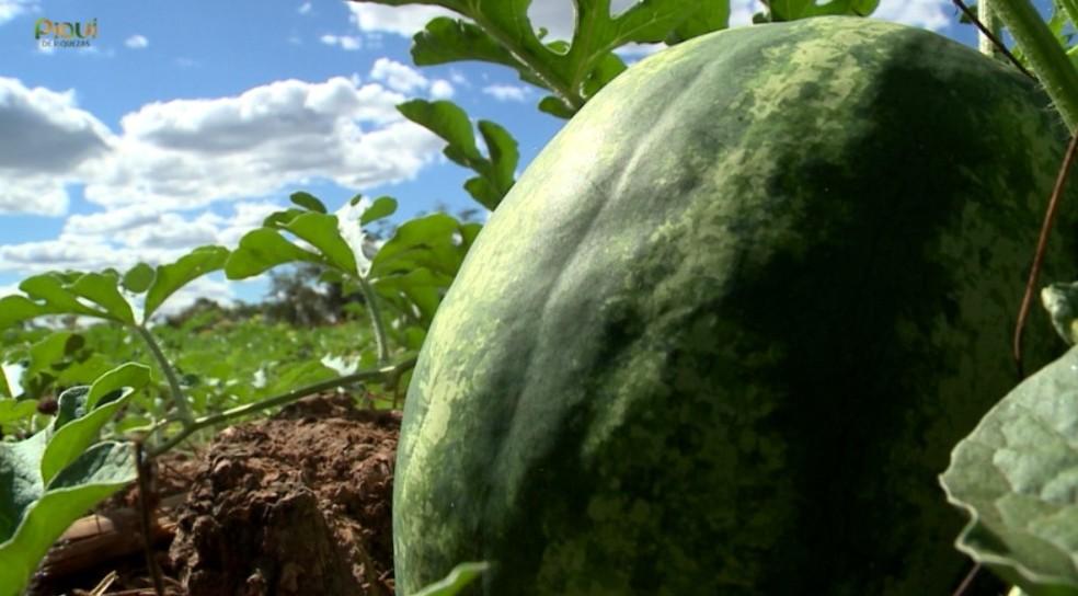Mavérico possui contendo cerca de 140 pés de melancia.  — Foto: TV Clube