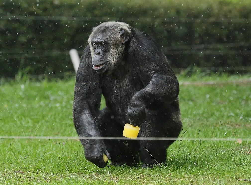 Chimpanzé Bob também é um dos animais mais antigos do Zoo de Curitiba  — Foto: Giuliano Gomes/PR Press
