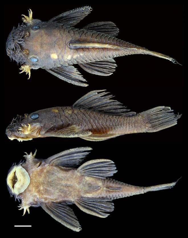Uma das novas espécies de bagres  (Foto: Jonathan W. Armbruster/ Reprodução)