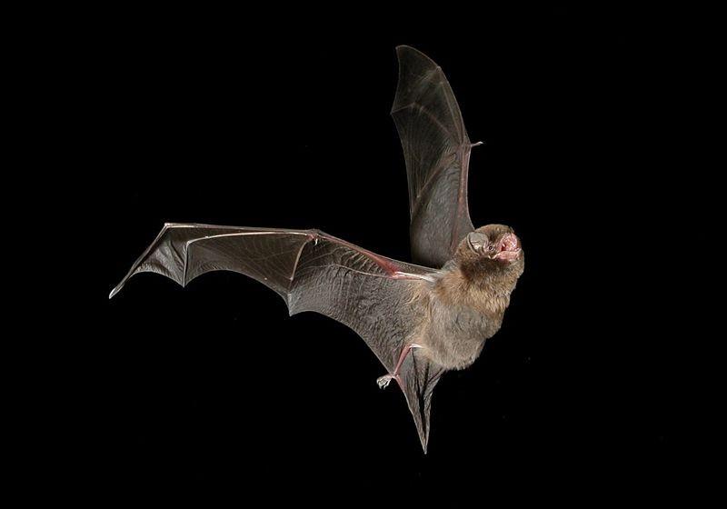Morcego M. schreibersii também pode carregar vírus do ebola (Foto: Steve Bourne/Wikimedia Commons)