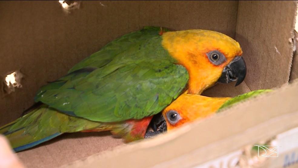 Polícia apreendeu em posse dos dois homens, dois papagaios da espécie Jandaia.  — Foto: Reprodução/TV Mirante