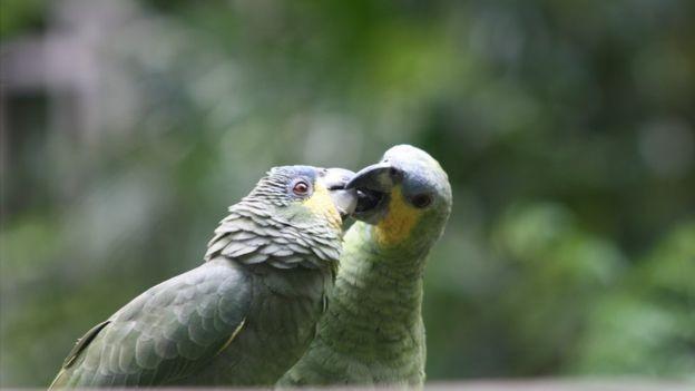 Papagaios em área protegida da Amazônia brasileira (Foto: MARIANA VEIGA via BBC)