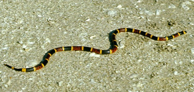 Exemplar de cobra coral; cientistas afirmam ter desvendado segredo sobre o veneno do réptil (Foto: Serviço de Pesca e Vida Selvagem dos EUA/Creative Commons)