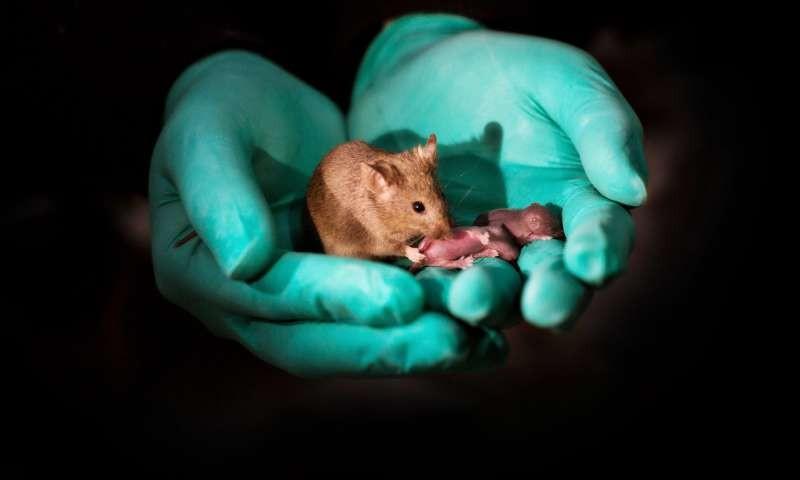 Filhote de duas fêmeas, essa ratinha teve sua própria cria (Foto: Reprodução/Leyun Wang)