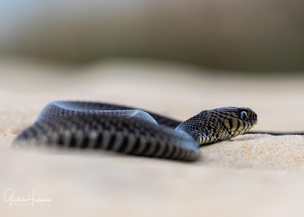 As cobras, quando encontradas, são motivo de comemoração para Gustavo que não perde a oportunidade de fotografá-las. — Foto: Gustavo Heilmann/Arquivo Pessoal