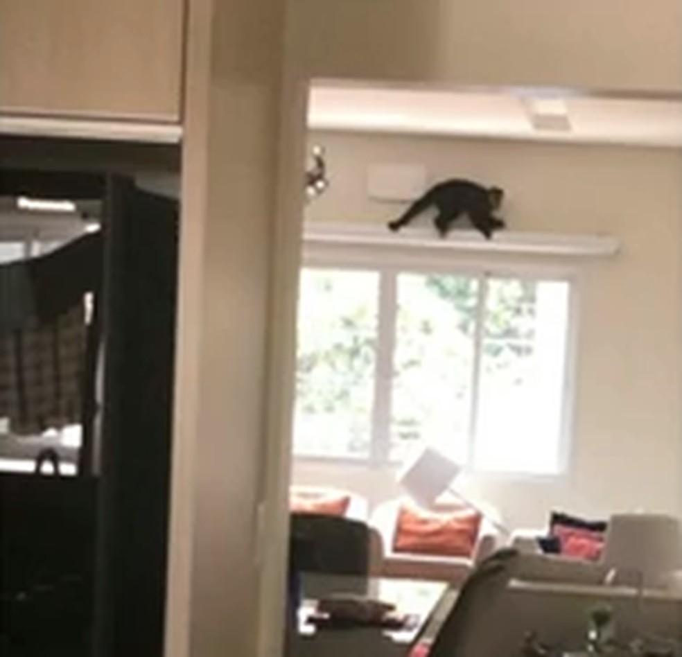 Macaco-prego invade apartamento em Umuarama; VÍDEO | Norte e ...