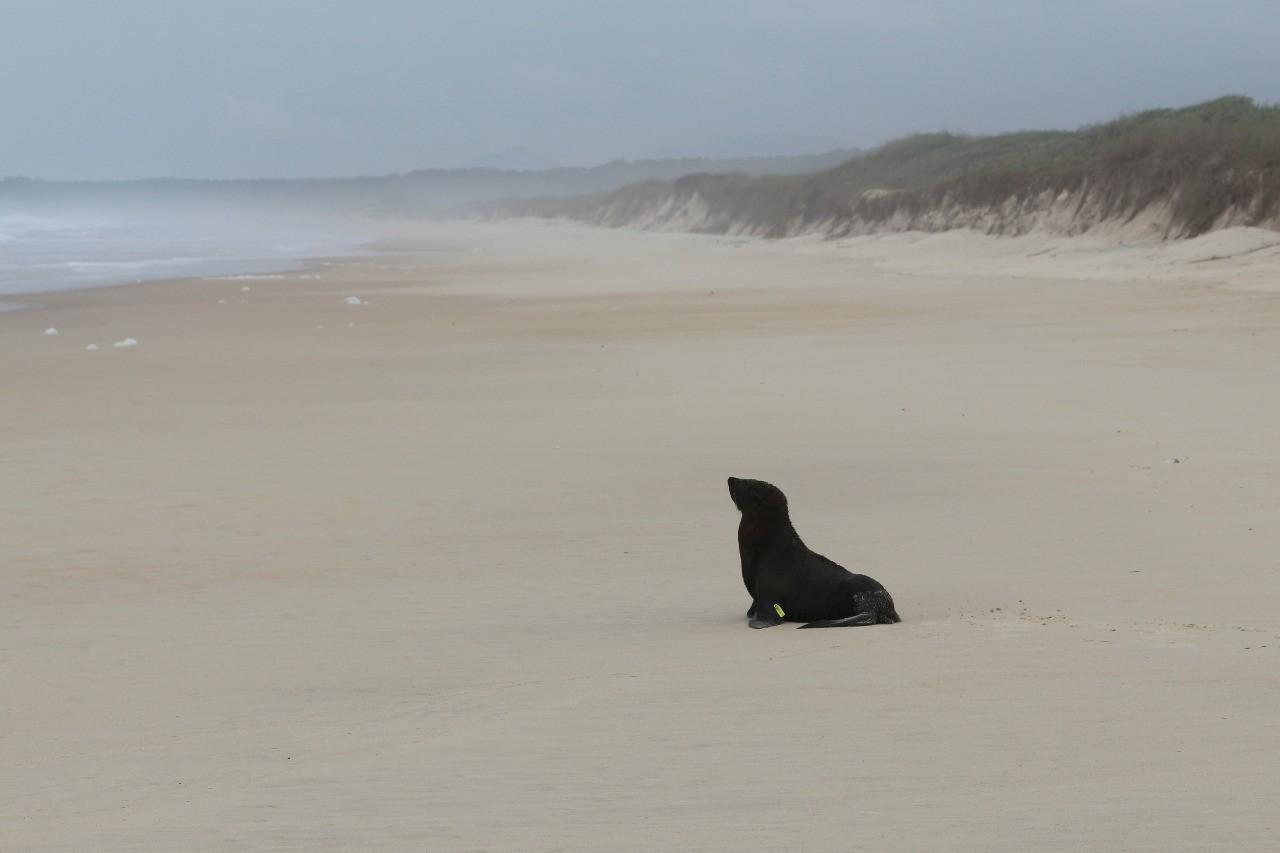 Lobo-marinho-do-Sul é solto em praia de Florianópolis após reabilitação
