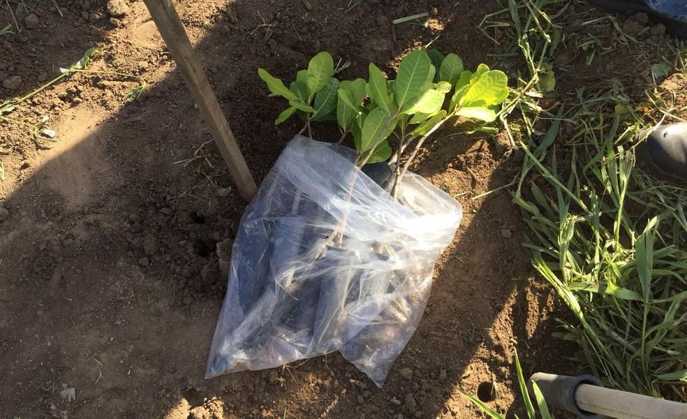 As mudas foram cultivadas pela Embrapa Agroindústria Tropical, que fica localizada em Fortaleza (Foto: Codecom UEPB/Divulgação)
