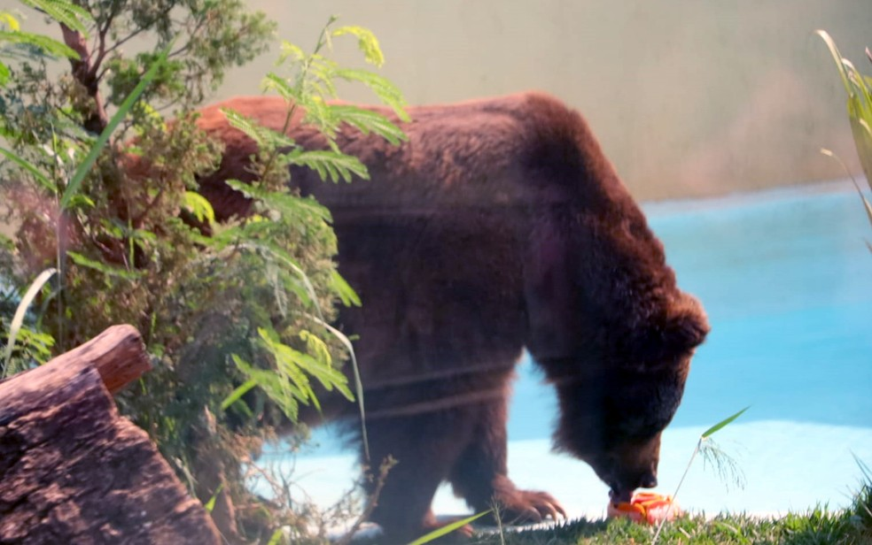 Urso Robinho come picolé gigante de 1 kg no Zoológico de Goiânia — Foto: Reprodução/Paulo José/Agetul