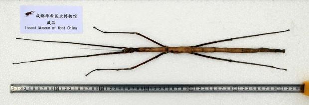 Bicho-pau mede 62,4 centímetros de comprimento. (Foto: Insect Museum of West China/AFP)
