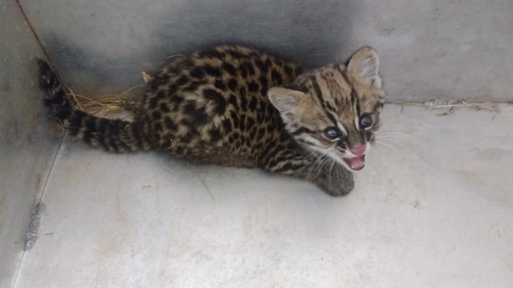 Filhote de jaguatirica é encontrado dentro de casa em Olímpia
