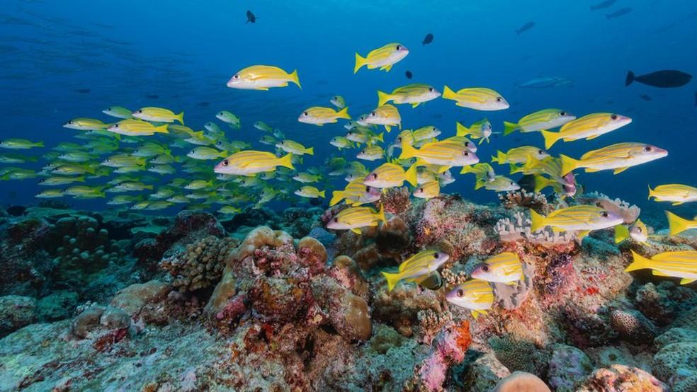 Larvas de peixes se orientam a partir dos sons emitidos pelos corais quando buscam um local para se fixar — Foto: Richard Brooks/Science Photo Library