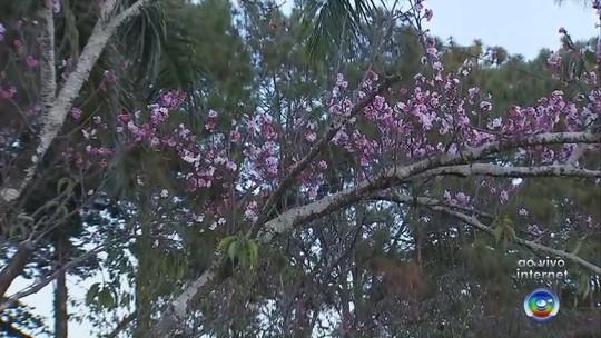 Mil pés de cerejeira enfeitam parque durante festival em Garça