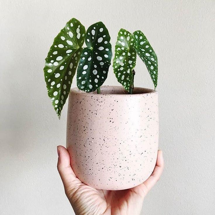 Begônia maculata: Conheça a planta que virou tendência nas redes sociais (Foto: Reprodução/Pinterest)