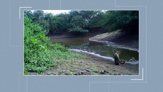 Onças são flagradas por câmeras de projeto que monitora fauna no norte da Bahia; veja vídeo