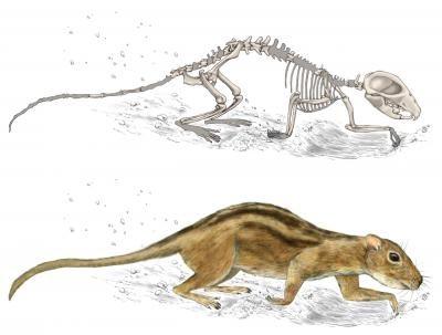 Reconstiuição do Filikomys primaevus de acordo com os fósseis da espécie encontrados. Seus cotovelos e ombros sugerem que ele era um mamífero escavador (Foto: Misaki Ouchida)