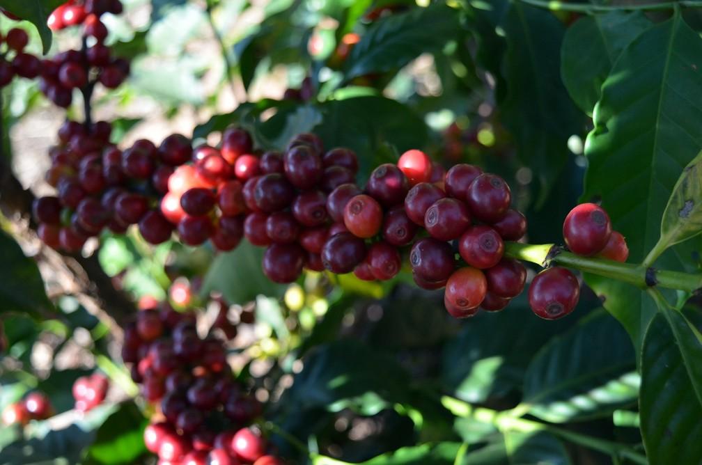 Produtores buscam qualidade no café para garantir futuro no setor — Foto: Régis Melo/G1
