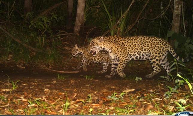 Mãe onça com seu filhote, na Serra do Amolar, na fronteira do nosso Pantanal com a Bolívia