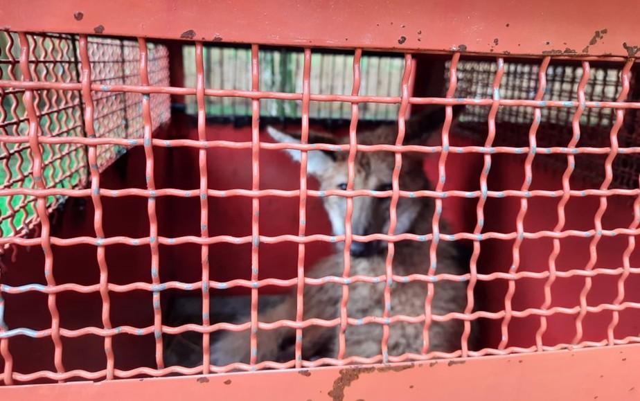Lobo guará é capturado ferido às margens da BR-267 em Cruzília, MG