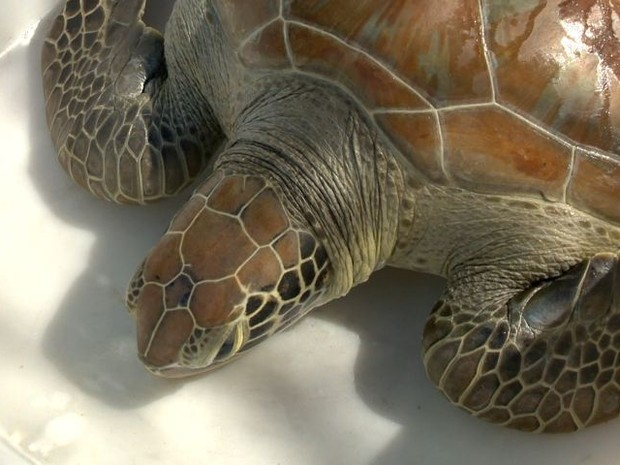 Tartaruga passou por uma cirurgia para a retirada de tumor, no Espírito Santo.  (Fot Reprodução/ TV Gazeta)