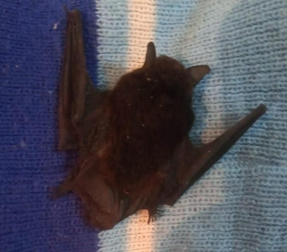 É a segunda vez em menos de dez dias que um morcego é encontrado dentro de uma casa em Barra do Piraí — Foto: Arquivo Pessoal