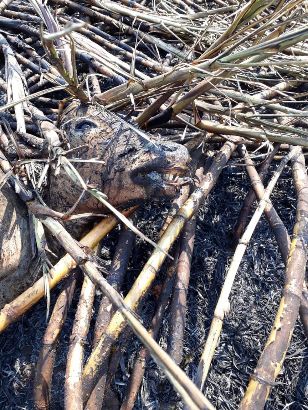 Animais morrem carbonizados em incêndio em Dracena  — Foto: Irene de Oliveira/Cedida