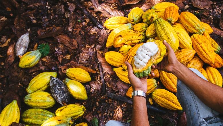 cacau-sao-felix-xingu-para (Foto: Imaflora/Divulgação)
