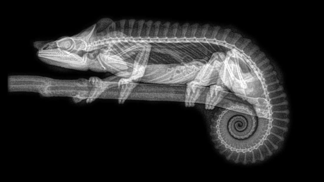 Raio X do Camaleão (Foto: Oregon Zoo/Reprodução)