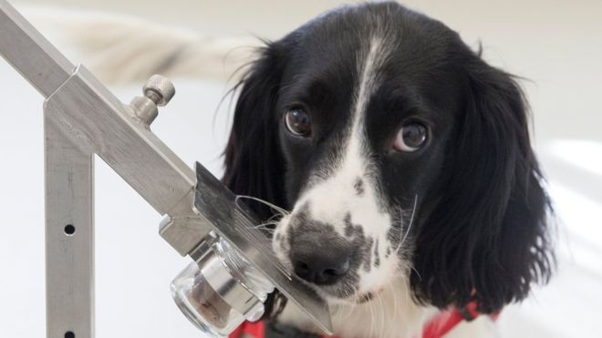 Freya, cachorrinha Springer Spaniel, que foi treinada para sentir o cheiro de malária (Foto: Medical Detection Dogs via BBC News Brasil)
