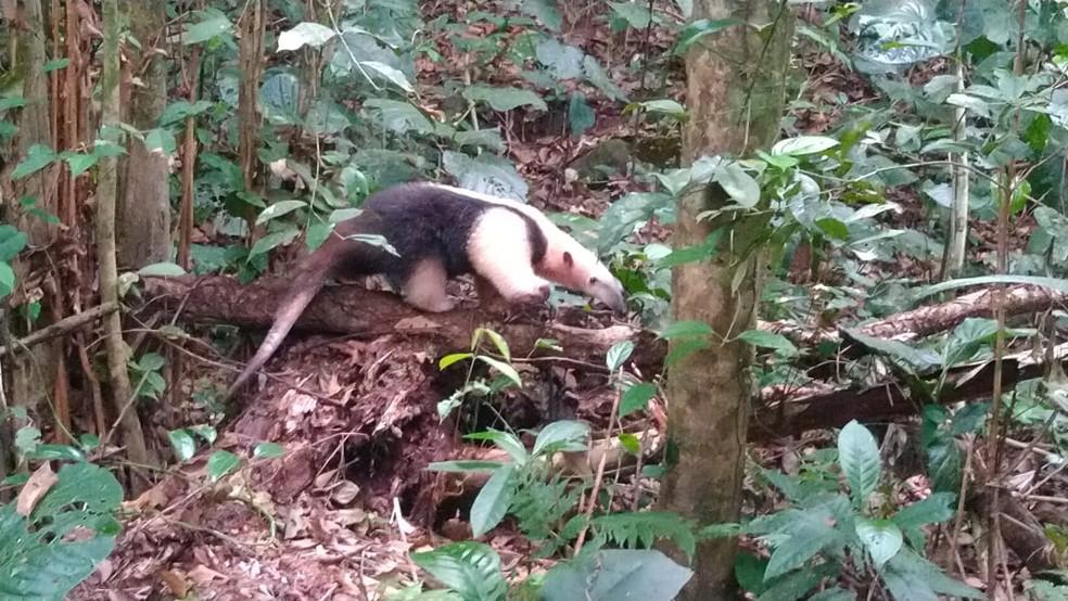 Tamanduá-mirim é resgatado no quintal de casa em Caraguatatuba