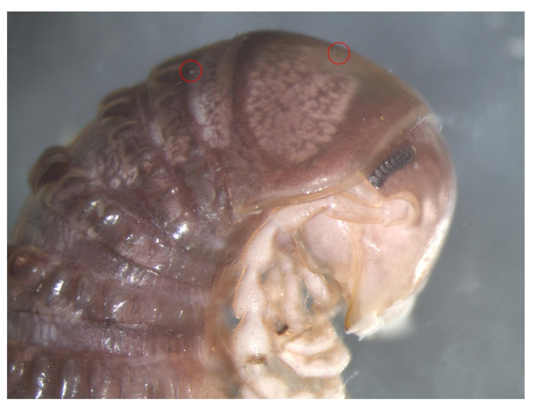 Pesquisadores identificaram nova espécie de fungo a partir de uma imagem compartilhada no Twitter. Acima, círculos vermelho marcam a presença do parasita, chamado de Troglomyces twitteri. (Foto: Derek Hennen)