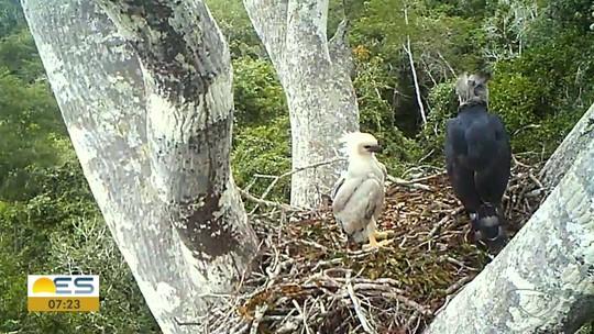 Filhote de harpia nasce em reserva natural em Linhares, ES