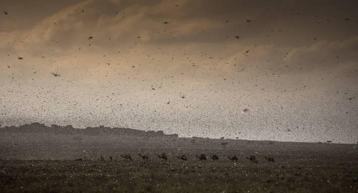 gafanhotos-deserto-africa (Foto: FAO)