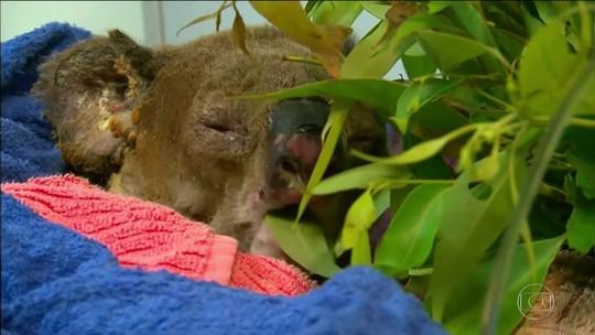 Coala retirado das chamas na Austrália se recupera em hospital