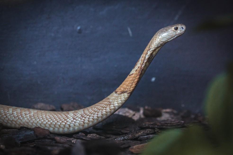Cobra Naja que picou estudante em Brasília faz ensaio fotográfico no zoológico  — Foto: Ivan Mattos/Zoológico de Brasília