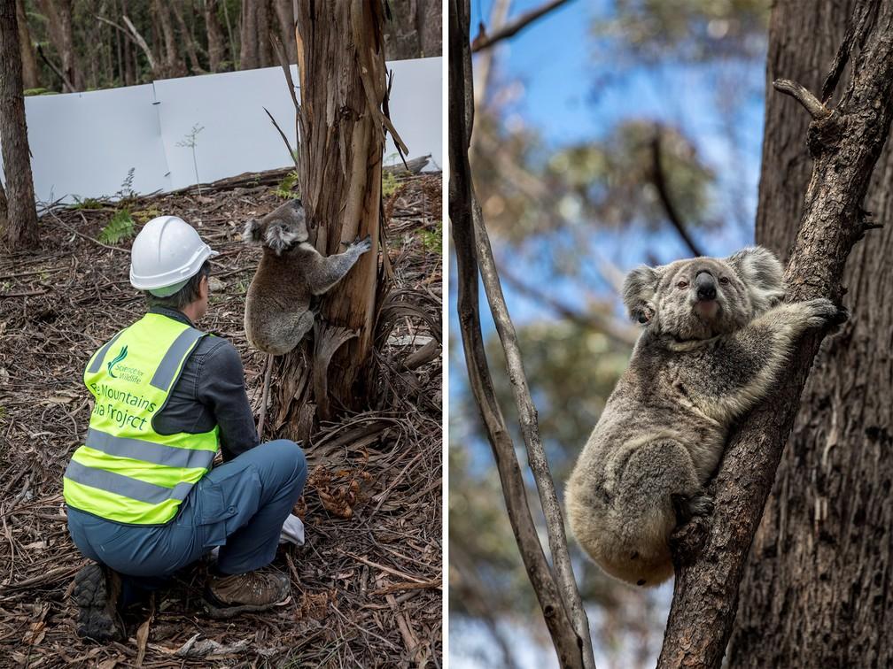 Coala volta à natureza 3 meses após incêndios que devastaram florestas na Austrália — Foto: Science for Wildlife via Reuters