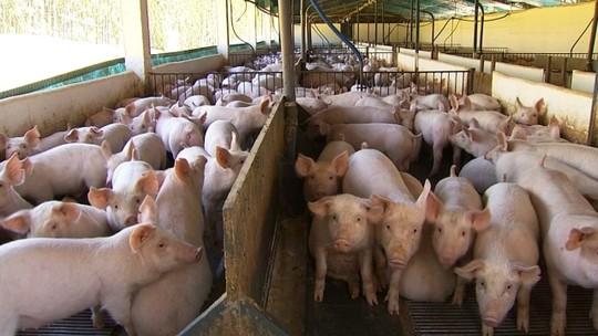 Tecnologia ajuda a aumentar eficiência em granja de suínos