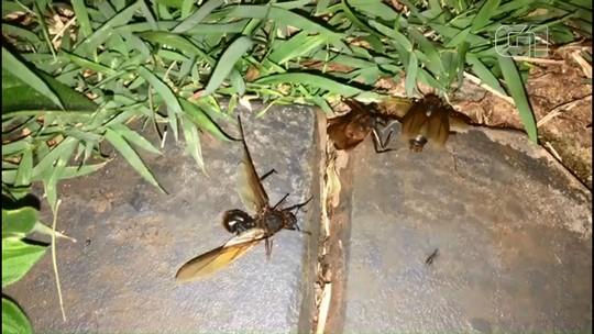 Revoada de formigas cortadeiras impressiona moradores de Cascavel
