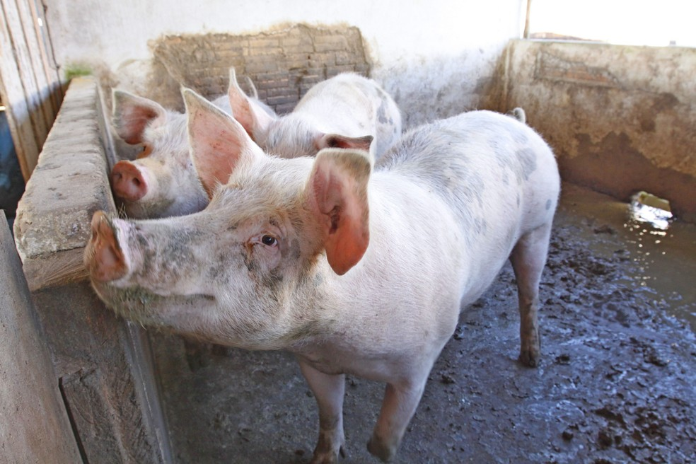 -  Quilo de suíno custa R$ 7,50 em Porto Velho, segundo Emater-RO  Foto: Arquivo/Secom