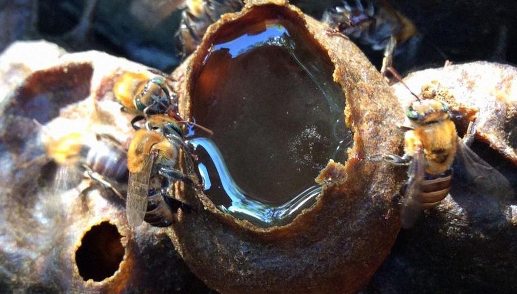 'Pote' de mel em melgueira no meliponário de Pedro Viana em Costa de Sauípe — Foto: Meliponário Costa do Sauípe/ Divulgação
