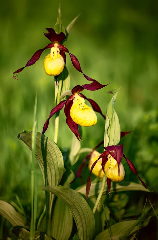 Lady's slipper orchid, Cypripedium calceolus, a rare endangered European plant, is pictured in the wild. Three flowers with yellow lip and long curled brown petals are seen on blured background. (Foto: Getty Images/iStockphoto)