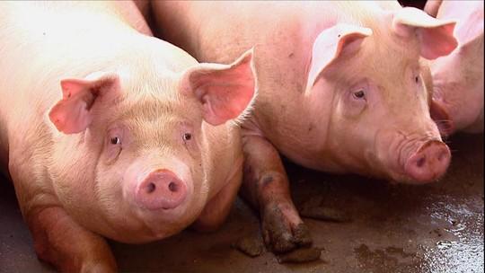 Criadores de suínos do PR terminam 2017 com mercado em expansão